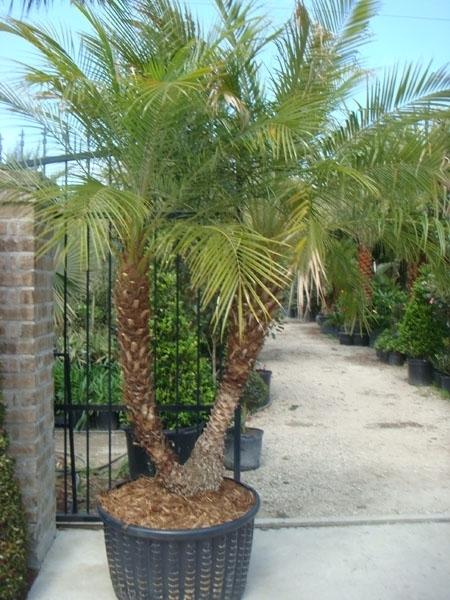 Palm trees palm garden depot Home depot palm beach gardens